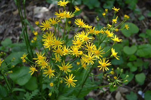 Golden Ragwort, Quart