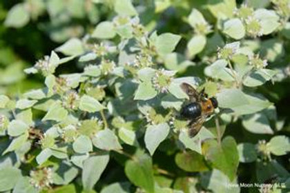 Mountain Mint, Quart