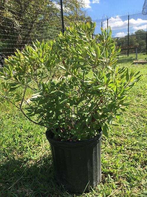 Wax Myrtle, 3 gallon