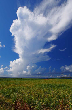 きび畑と夏雲