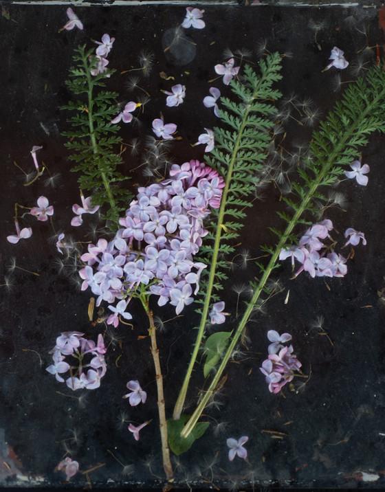 Garden Study Lilac