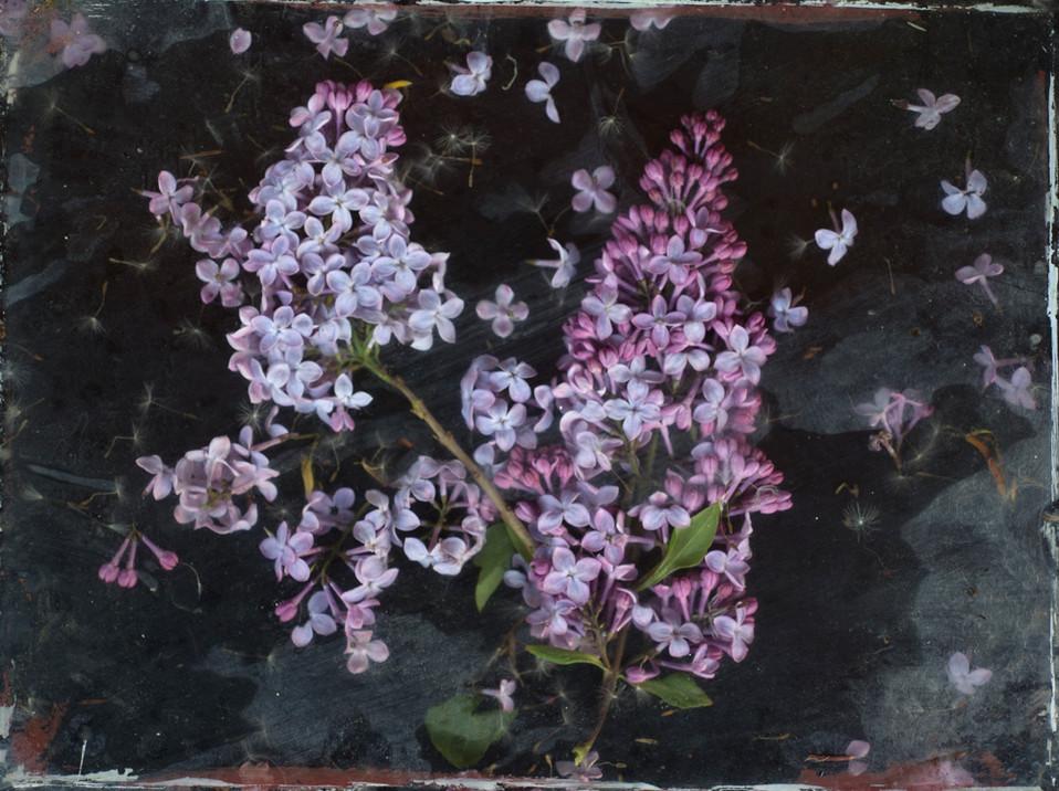 Garden StudyTwo Lilacs