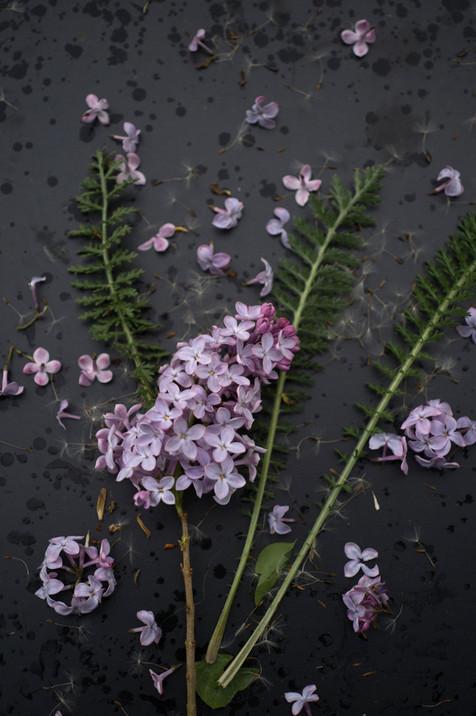 Garden Study Lilac 2