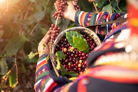 coffee-harvest.jpg
