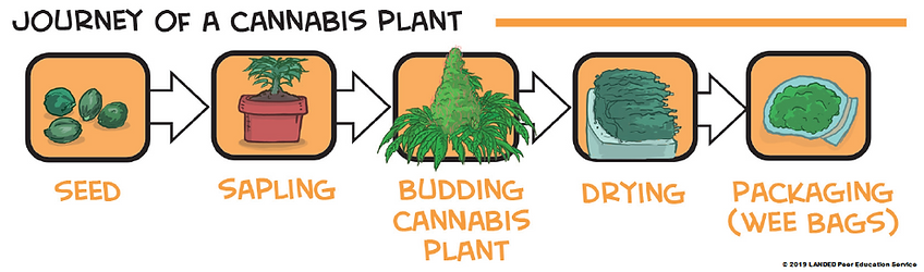 journey of cannabis plant.png