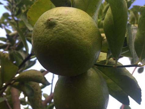 Relato sobre el fomento de las parcelas y cítricos en Dzán, Yucatán (2/3)