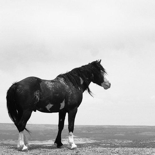 20x20 Wild Mustang