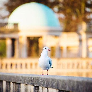 Seagull in Eaton Park.