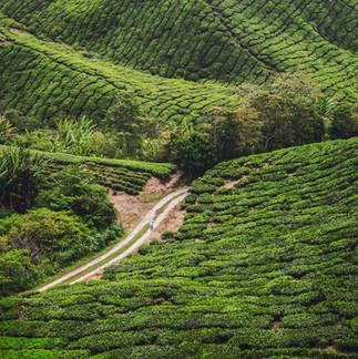 BOH Tea Plantation.