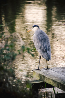 A heron at the University of East Anglia lake, Norwich