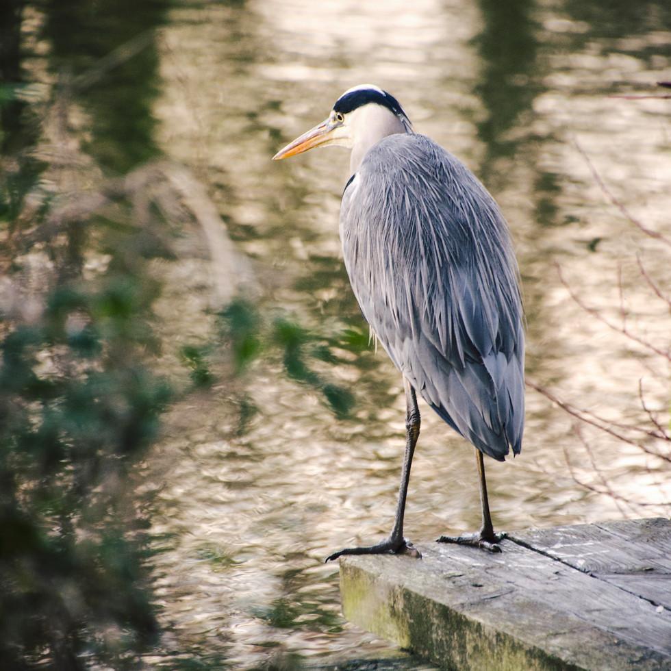 Gray heron at University of East Anglia lake.