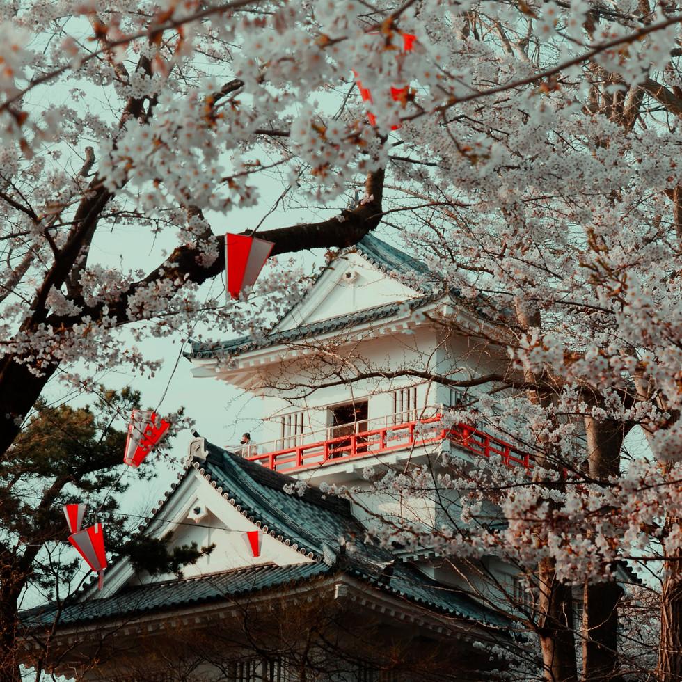 Cherry blossom and Kubota Castle in Senshu Park