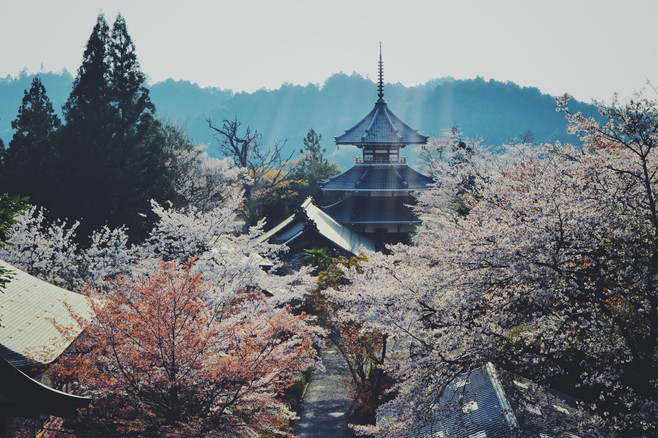 Cherry blossom in Yoshino, Nara Prefecture