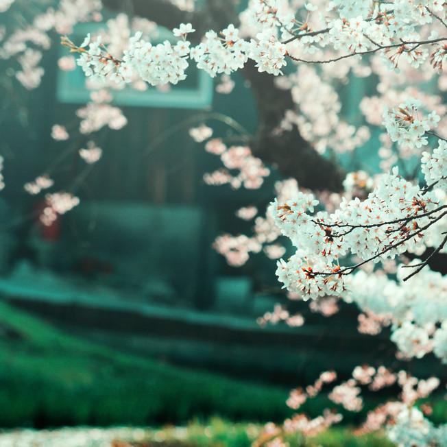Cherry blossom in Senshu Park.