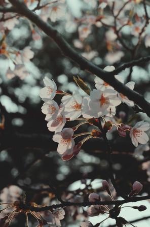 Cherry blossom in Senshu Park. Akita, Akita Prefecture