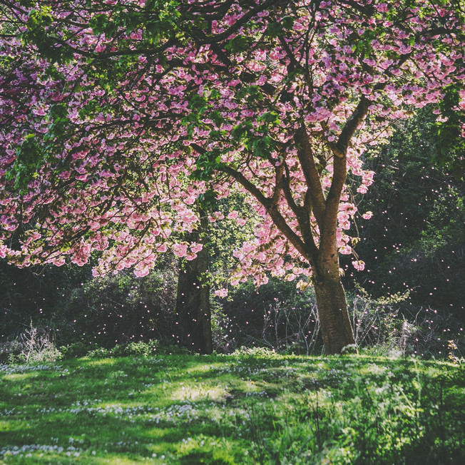 Blooming trees at Wensum Park.