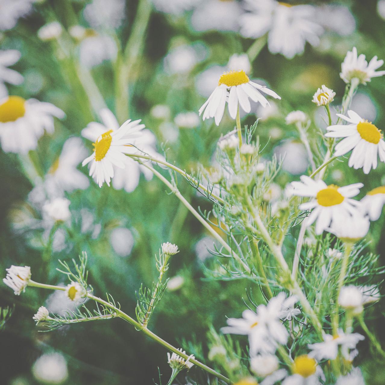 Daisy flowers in Kaliningrad Oblast