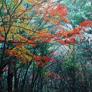 Autumn leaves in forest at the Akita International University.