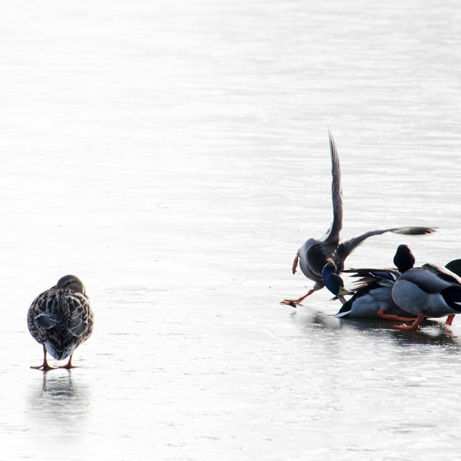 Ducks walking on the frozen lake at the University of East Anglia.