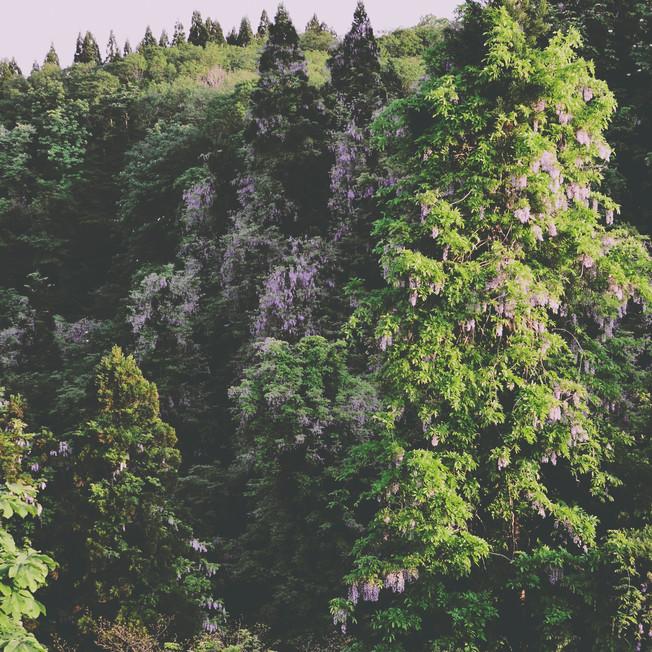 Wild wisteria.