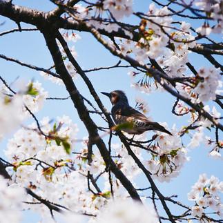 Bird and cherry blossom.