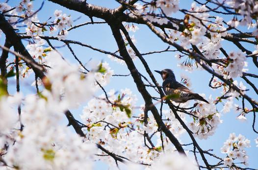 Cherry blossom in Akita Prefecture