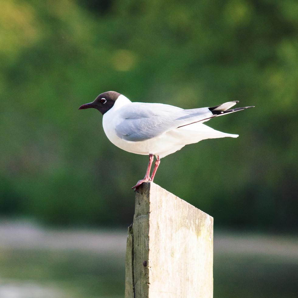 A seagull at Wensum Park.