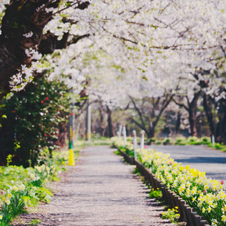 Cherry Blossom avenue in Akita International University.