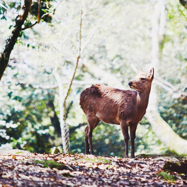 A deer in Nara Park.