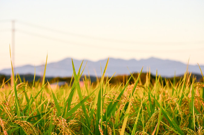Rice fields, Akita Prefecture