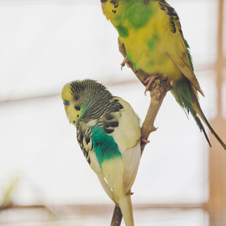 Budgies in the Cactus Valley.