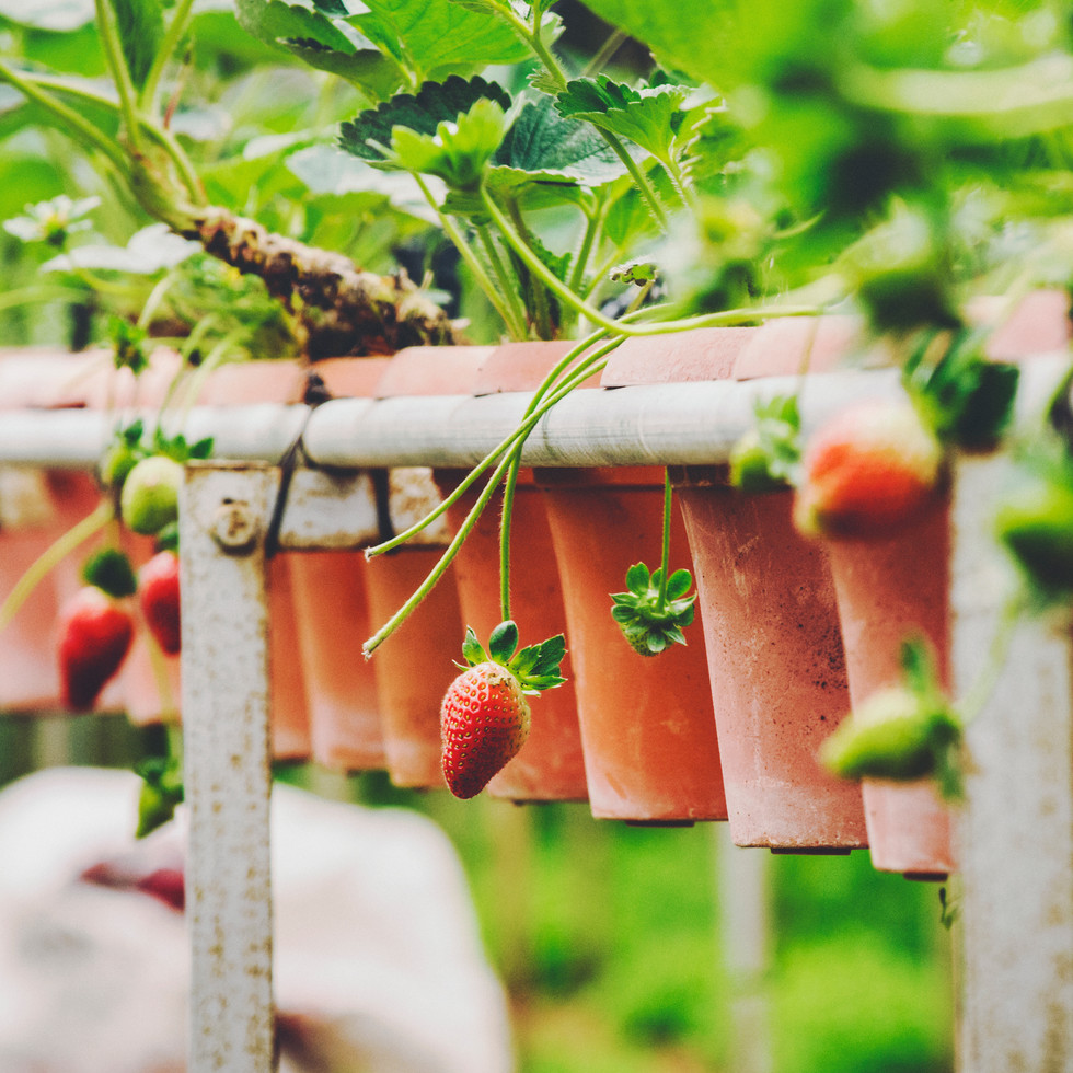 Strawberry Farm.