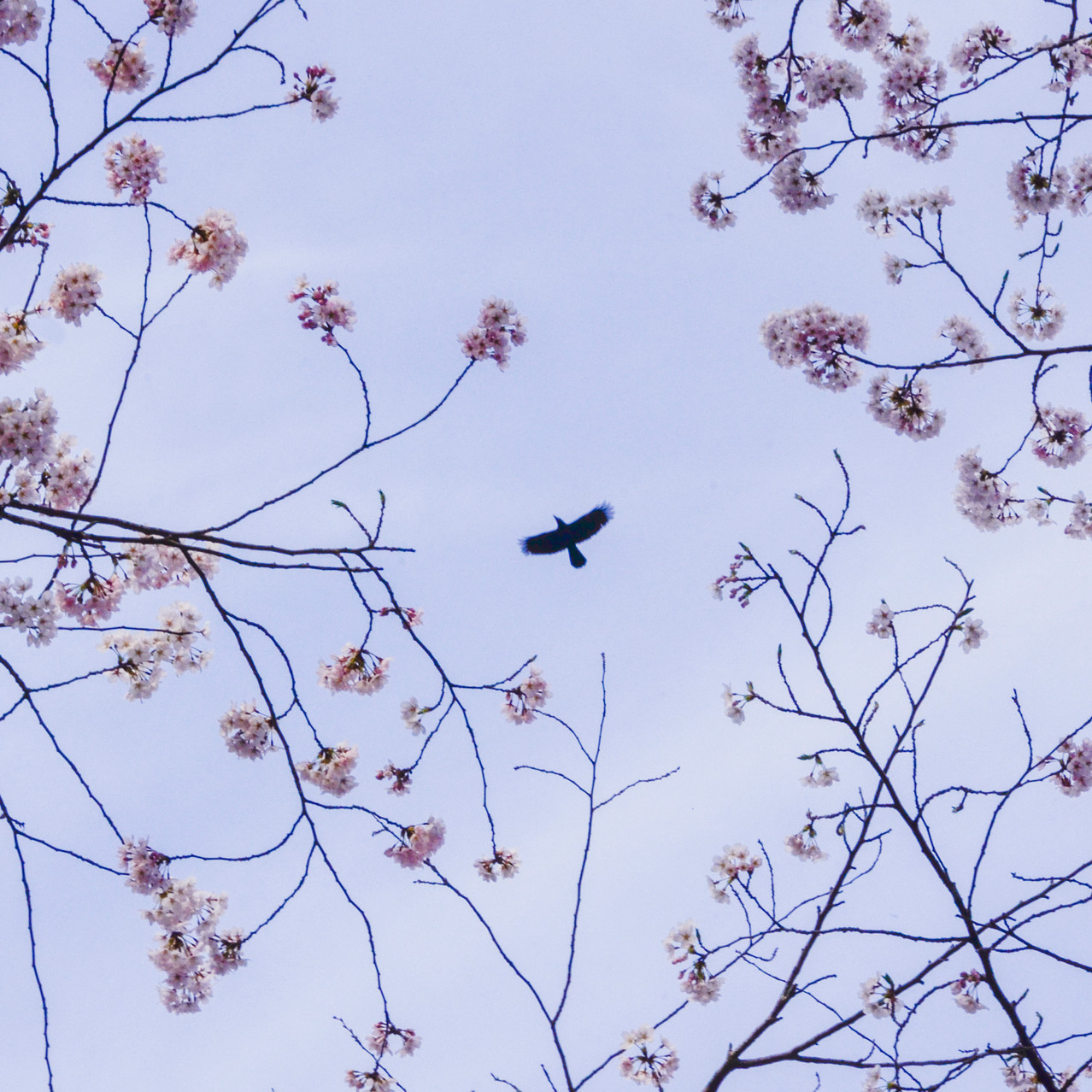 Flying bird and cherry blossom.