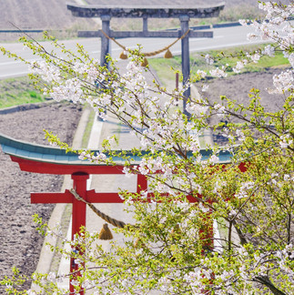 Cherry Blossom at Shinmeisha Shrine.