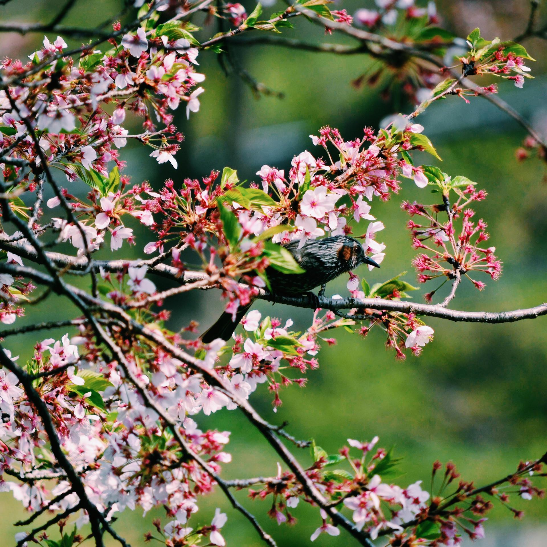 Bird in the cherry blossom.