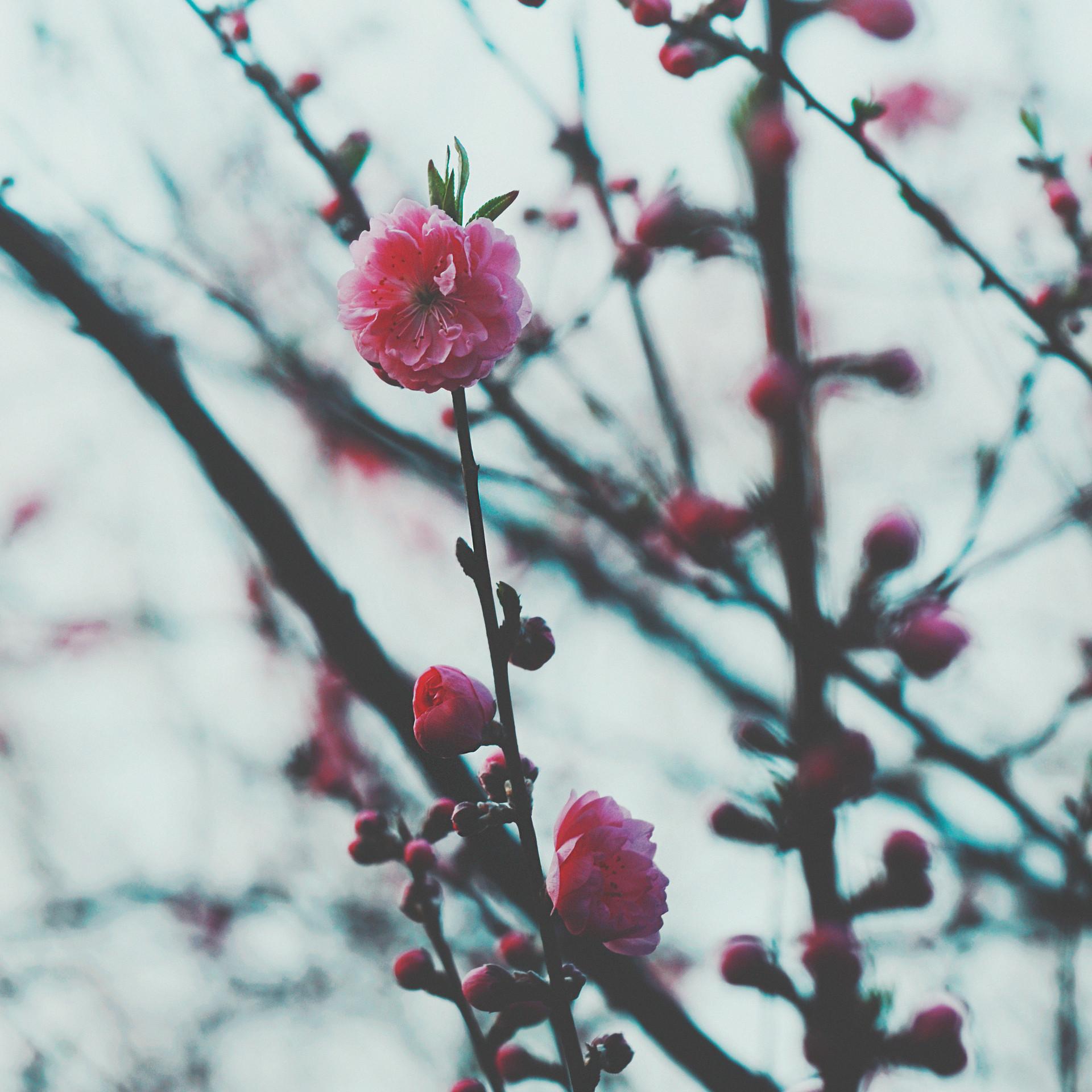 Plum Blossom in Yoshino.