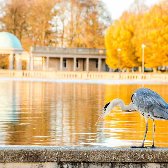 Gray heron in Eaton Park.