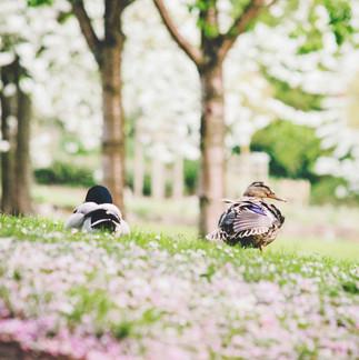 Ducks at Wensum Park.