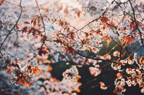 Cherry blossom in Yoshino, Nara Prefecture