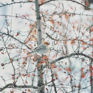 Snow punting bird.   Пуночка.