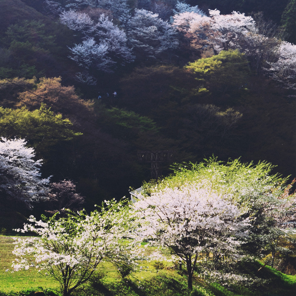 Cherry Blossom in Yoshino.