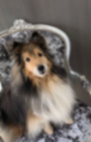 Dog Bath, Rough Collie