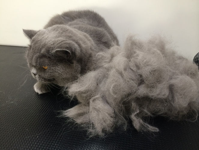 4Paws - Mobile Cat Spa - Grey Cat - NOW in Brighton & Hove