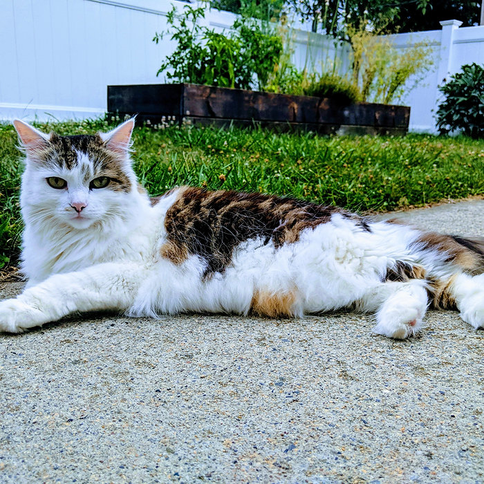 Long haired calico tabby cat