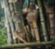 Touceira e Bambu Gigant