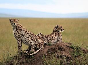 Cheetah_Serengeti.JPG