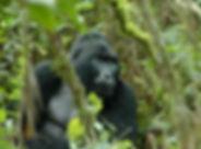Silverback Gorilla Uganda.jpg