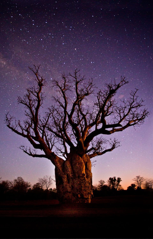 Kimberley Boab by Night