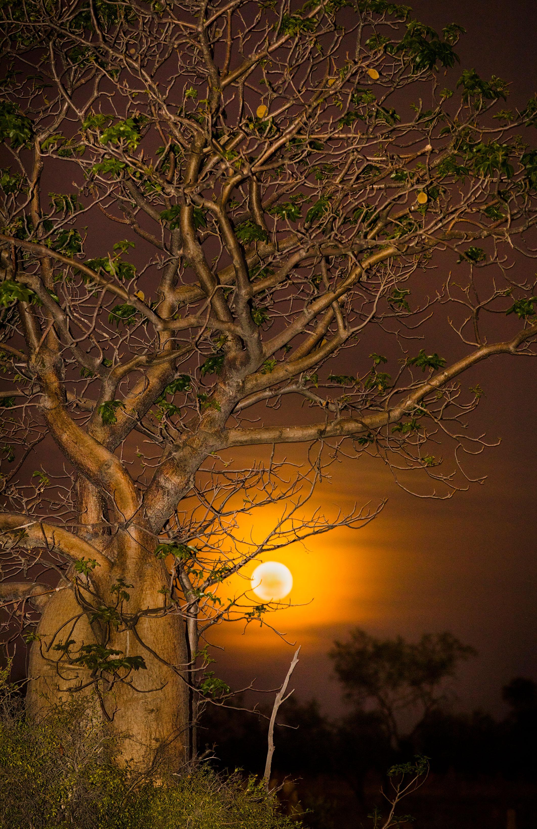 Boab Moonrise