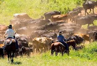 cattledrive.jpeg